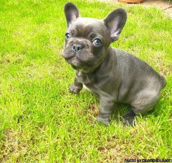 AKC registered bulldog french