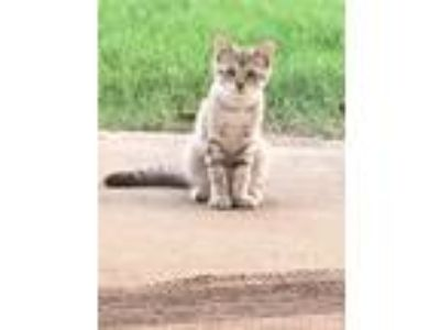 Adopt Picard a Tiger Striped Domestic Shorthair cat in Rogers, AR (25845923)