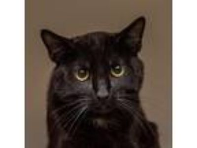 Adopt Bucky a All Black Domestic Shorthair / Mixed cat in Mission Hills