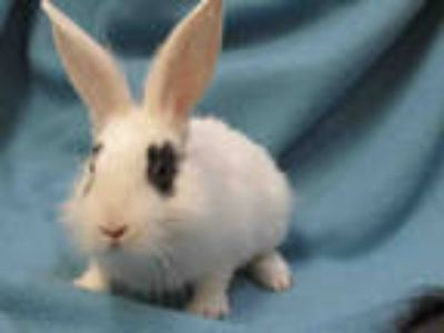 Adopt KIT a White Other/Unknown / Mixed rabbit in Van Nuys, CA (25552726)