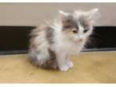 Adopt Lana -- 9 WEEKS a Domestic Long Hair, Dilute Calico