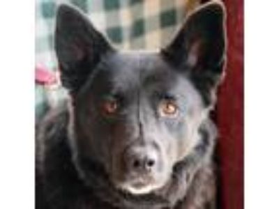 Adopt Darcy a German Shepherd Dog, Black Labrador Retriever