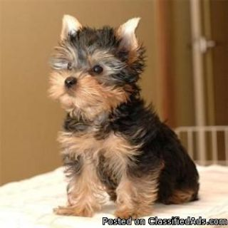 Tea Cup Yorkie Puppies For Adoption Now