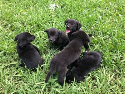 Austrailian Shepherd/Lab Puppies