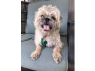 Adopt Poncho a Gray/Silver/Salt & Pepper - with White Shih Tzu / Terrier