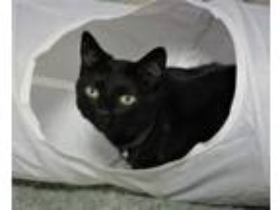 Adopt Lucille a Domestic Short Hair