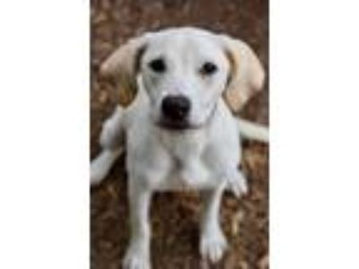 Adopt Goldie a Labrador Retriever / Mixed dog in Canton, GA (25849948)