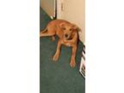 Adopt Sparky a Tan/Yellow/Fawn Golden Retriever / Mixed dog in Long Beach