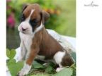 Madison IN- AKC 4 week old Male Boxer puppy Spider