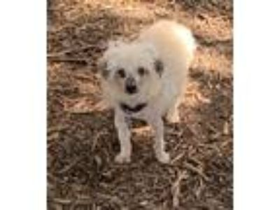 Adopt Pier a Poodle (Miniature) / Mixed dog in Boerne, TX (25546940)