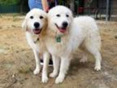 Adopt Zippy and Miriam a Great Pyrenees