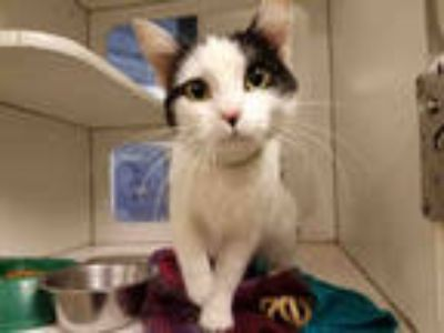 Adopt *JIANA a White (Mostly) Domestic Shorthair / Mixed (short coat) cat in