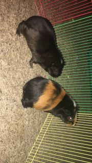 Rehoming two guinea pigs