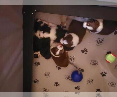 Australian Shepherd PUPPY FOR SALE ADN-131401 - akc aussie puppies