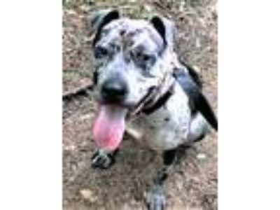 Adopt Moss, active & smart, terrific outdoor partner! a Catahoula Leopard Dog