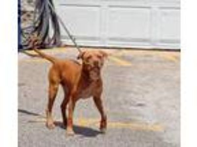 Adopt Ne-Yo a Red/Golden/Orange/Chestnut Mixed Breed (Large) / Mixed dog in