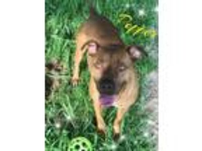 Adopt Pepper a Pit Bull Terrier, Chesapeake Bay Retriever