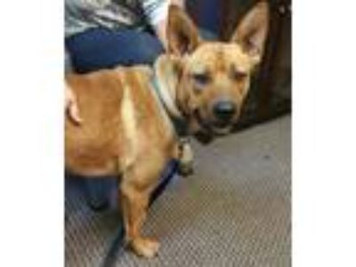 Adopt Scrappy a Tan/Yellow/Fawn - with White Shepherd (Unknown Type) / Mixed dog