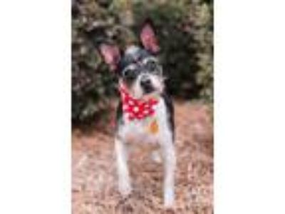 Adopt Mr. Gibbs a Terrier (Unknown Type, Small) / Mixed dog in Madison