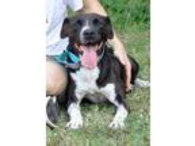 Adopt Carla a Black - with White Labrador Retriever / Mixed dog in Midlothian