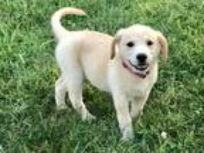 Adopt Zaylee a Tan/Yellow/Fawn - with White Labrador Retriever / Mixed dog in