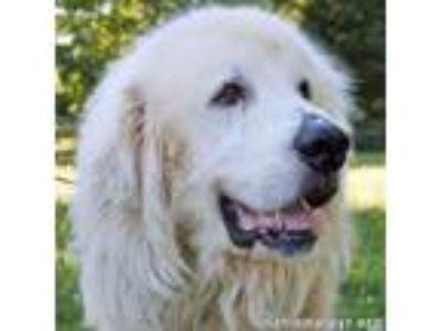 Adopt Nash in NY a Great Pyrenees