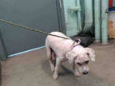 Adopt FLUFFY a White Poodle (Standard) / Mixed dog in Gardena, CA (25337140)
