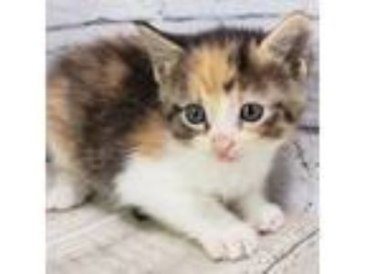 Adopt 41633297 a White Domestic Shorthair / Domestic Shorthair / Mixed cat in
