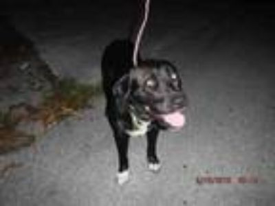 Adopt BRUNO a Labrador Retriever, Mixed Breed