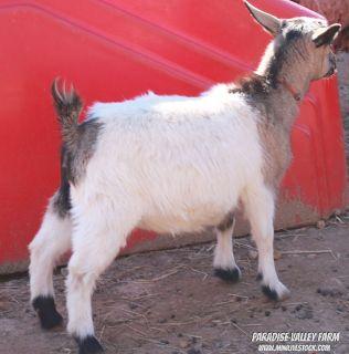 Mini Goats-Nubian & SIlky Fainter