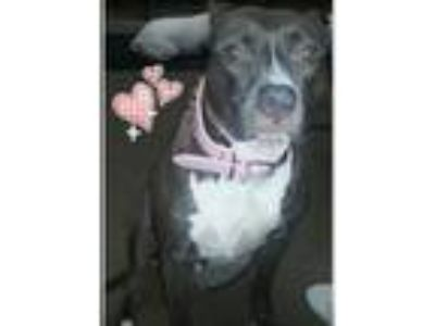 Adopt Zena a Gray/Silver/Salt & Pepper - with White American Pit Bull Terrier