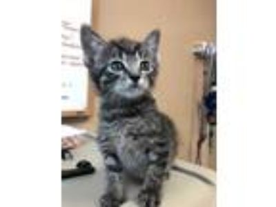 Adopt Screech a All Black Domestic Shorthair / Domestic Shorthair / Mixed cat in