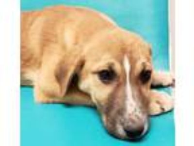 Adopt Luna a Red/Golden/Orange/Chestnut Shepherd (Unknown Type) / Mixed dog in