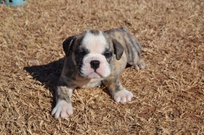 English Bulldog PUPPY FOR SALE ADN-64592 - 8 week old English Bulldogs