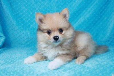 Cream and White Teacup Pomeranian Puppy in Las Vegas!