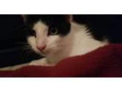 Adopt Oreo a Black & White or Tuxedo Domestic Shorthair / Mixed cat in Fort