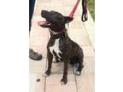 Adopt Zeus a Black American Pit Bull Terrier / Mixed dog in Pompano Beach