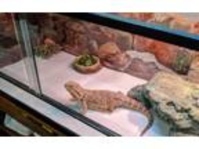 Adopt Bleu a Bearded Dragon