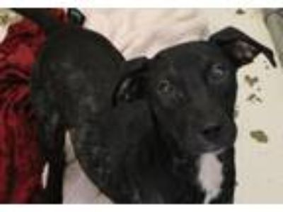 Adopt Sissy a Black Hound (Unknown Type) / Mixed dog in Hilton Head