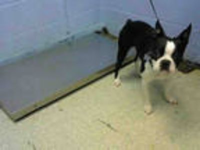 Adopt BENTLEY a Black - with White Boston Terrier / Mixed dog in Atlanta