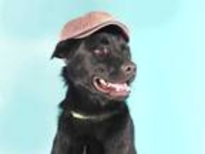 Adopt FELIX a Black Flat-Coated Retriever / Mixed dog in Maryland Heights