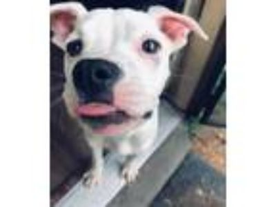 Adopt Barbara a White - with Brown or Chocolate Pit Bull Terrier / Mixed dog in