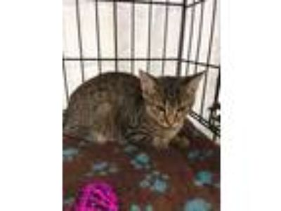 Adopt Dylan a Brown Tabby Domestic Shorthair (short coat) cat in valhalla