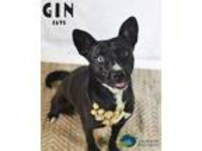 Adopt Gin a Catahoula Leopard Dog / Mixed dog in Gautier, MS (25821481)