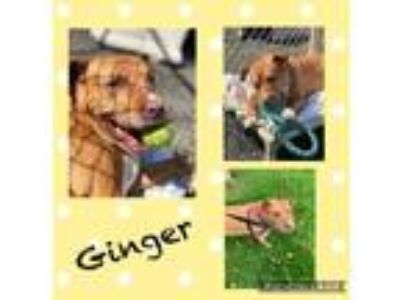 Adopt Ginger a Pit Bull Terrier / Mixed dog in Meriden, CT (24689408)
