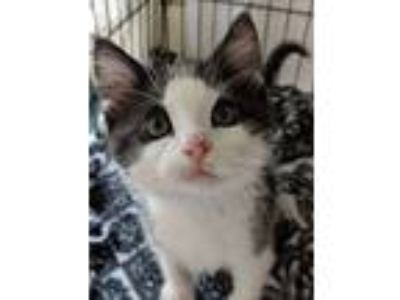 Adopt Nick Furry a Domestic Short Hair