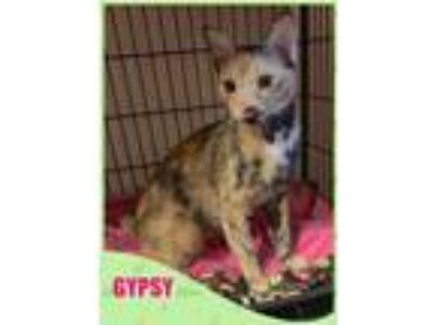Adopt GYPSY a Domestic Shorthair / Mixed (short coat) cat in Lawton