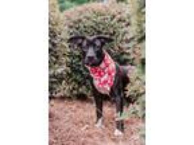 Adopt Sissy a Pit Bull Terrier / Terrier (Unknown Type, Small) / Mixed dog in