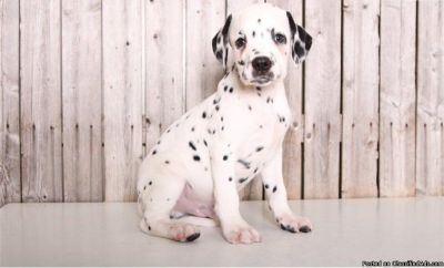 4 Beautiful Healthy Dalmatian puppies