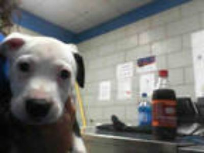 Adopt STRAY A1071481 a Black - with White American Pit Bull Terrier / Mixed dog